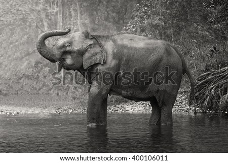 Asian Elephant in a natural river at deep forest - stock photo