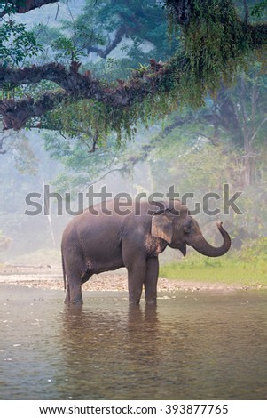 Asian Elephant in a natural river at deep forest, Thailand - stock photo
