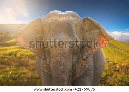 Asian Elephant in nature savanna grassland with sunshine environment  - stock photo