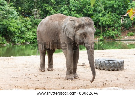 Asian elephant in the Khao-Khew very famous open zoo in Thailand