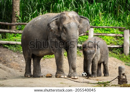 Asian elephant mother and young elephant calf - stock photo