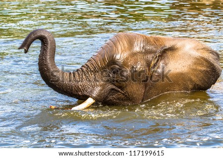 Asian elephant playing in the water - stock photo