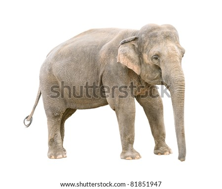 Asian elephant young female  isolated on white background