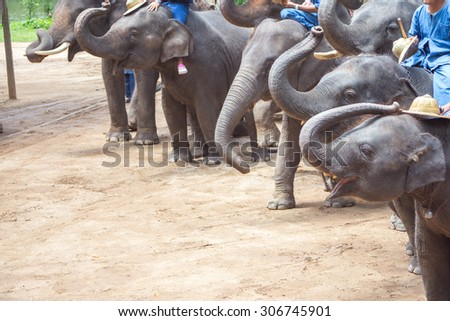 Asian elephants at Thai Elephant Conservation Center
