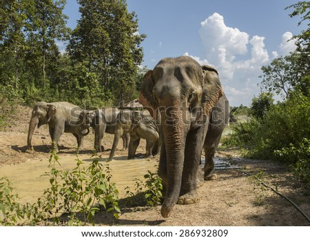 Asian Elephants in Thailand - stock photo