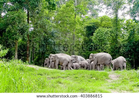 Asian elephants in the wild in Thailand 3