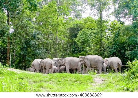 Asian elephants in the wild in Thailand 6