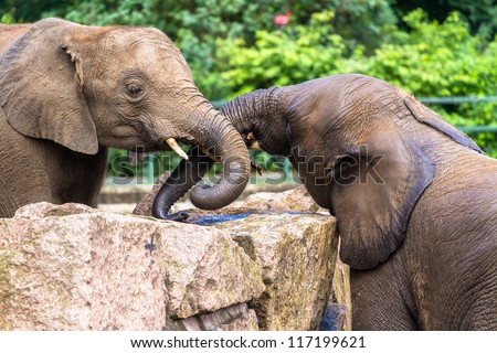 Asian elephants playing together - stock photo