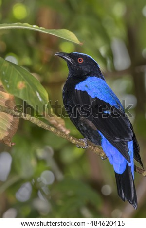 Asian fairy bluebird (Irena puella), captive (native to Southern Asia), Moody Gardens, Galveston, Texas, USA