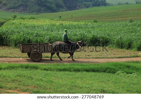 Asian farmer on the green grass field with his water buffalo. - stock photo