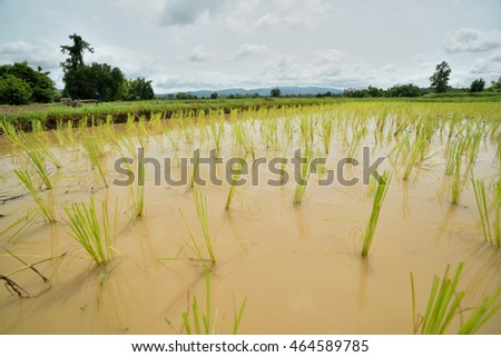 Asian farmer transplant rice seedlings in rice field farmland,Farmers planting rice in the rainy season,countryside Thailand.