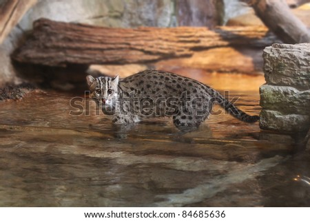 Asian Fishing Cat, Small Wild Cat of India, Vietnam, Sri Lanka, Himalaya Mountains and other parts of Asia. - stock photo