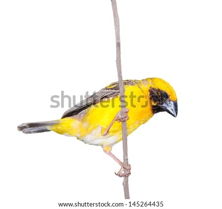 Asian Golden Weaver isolated on white background, in Thailand
