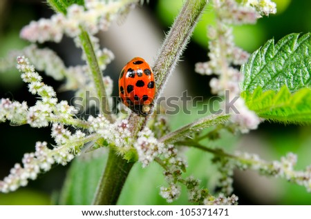 asian lady beetle, blooming, stinging nettle - stock photo