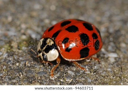 Asian lady beetle which recently invaded to Europe - stock photo