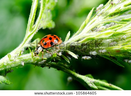 asian ladybird hunting aphids - stock photo