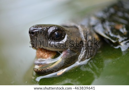 Asian leafe turtle