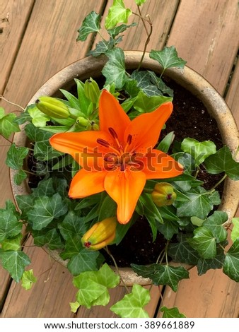 Asian lily flower in pot - stock photo