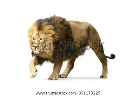 asian lion isolated on white - stock photo