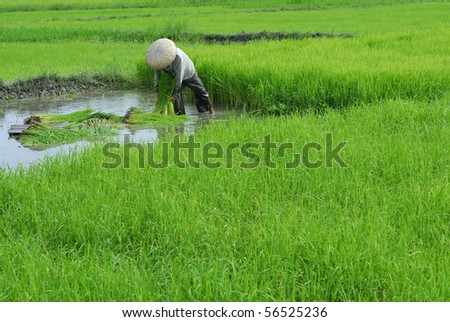 Asian man at the paddy field