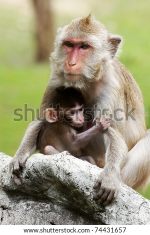 Asian monkey - stock photo