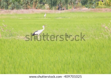 Asian Openbill standing in the rice field looking for food