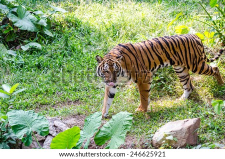 Asian- or bengal tiger