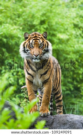 Asian- or bengal tiger standing with bamboo bushes in background - stock photo