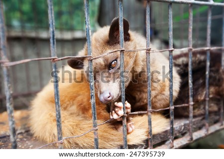 Asian Palm Civet produces Kopi luwak - stock photo
