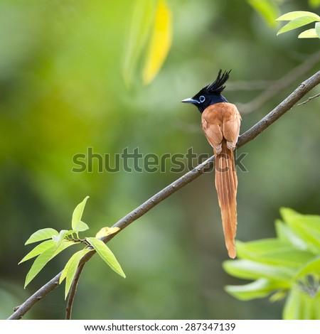 Asian paradise flycatcher bird in Sri Lanka ; specie Terpsiphone paradisi - stock photo