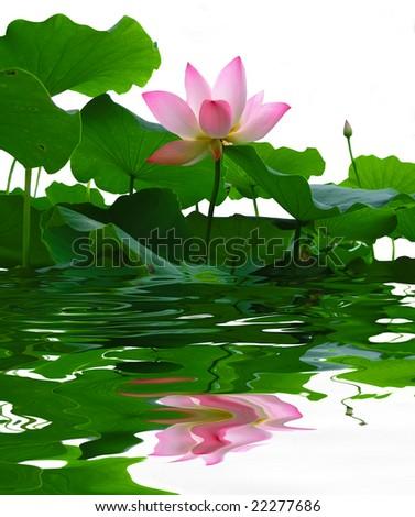 asian pink lotus flower - stock photo