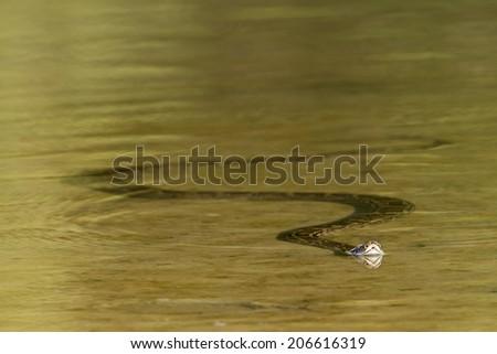 Asian python specie Python molurus,  in Nepal, soft focus - stock photo