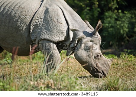 Asian rhino in Royal Bardia National Park (Nepal) - stock photo