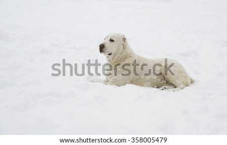 Asian Shepherd Dog in the park on a snowy day