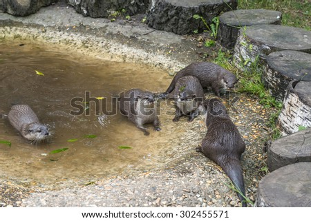 Asian Short-Clawed Otter (Amblyonx cinerea)