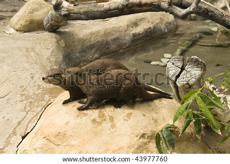 Asian small-clawed Otter is the smallest otter in the world: about 2 feet long.