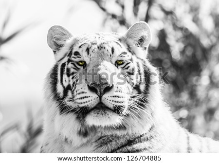Asian Tiger Black and White  Image - stock photo