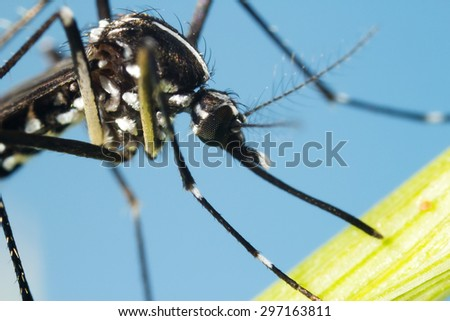 Asian Tiger Mosquito (Aedes albopictus) extreme close up at 4X lifesize on sensor - stock photo