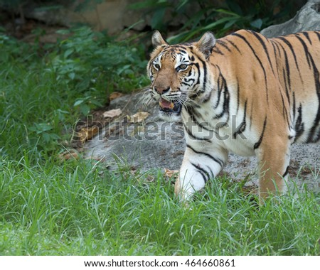 Asian tiger or Bengal Tiger in the zoo, Selective focus