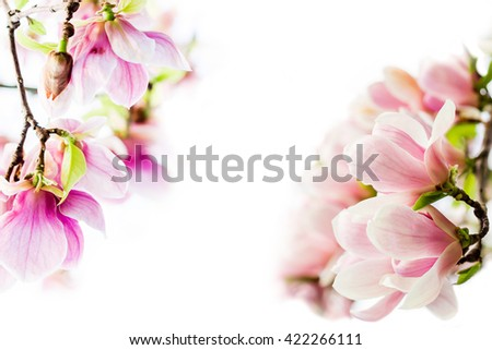 asian type of magnolia, magnolia soulangeana wildly blossoming during spring time in Europe on white background