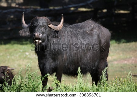 Asian water buffalo (Bubalus bubalis). Wild life animal.