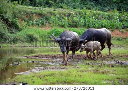 Asian water buffalo on the field  - stock photo