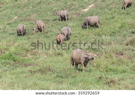 Asian water buffalo on the field