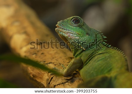 Asian water dragon (Physignathus cocincinus) in natural environment. Colorful tropical green lizard.