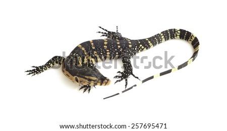 Asian Water Monitor Lizard (Varanus salvator) on white background. - stock photo