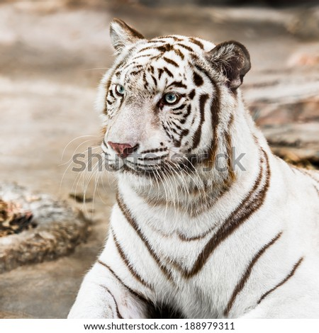 Asian white tiger prostrate on the ground
