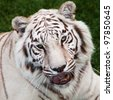 Asian white tiger seen in head close up - stock photo