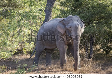 Asian Wild Elephant Isolated - stock photo