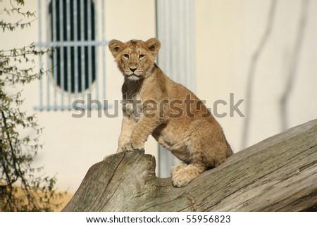 Asiatic baby lion - stock photo