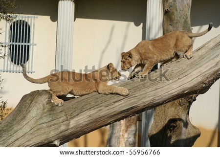 Asiatic baby lions - stock photo